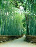 Bambujapones