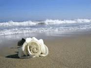 rosa-blancas-hermandadblanca.org