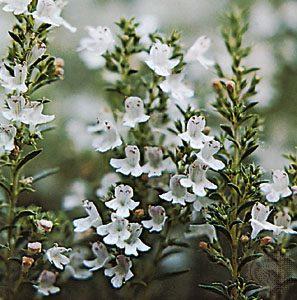 tomillo_plantamedicinal hermandadblanca.org