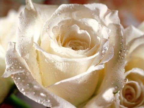 rosa blanca madre maria hermandadblanca.org