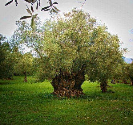 Olivo- Arbol