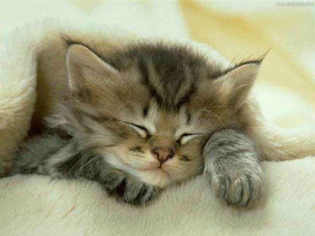 825 Gato durmiendo Una Forma de Curarnos: Ronroneo Gatuno
