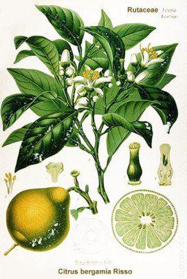 Bergamota hierba planta