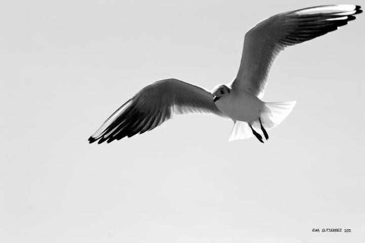 Gaviota volando hacia el margaviota
