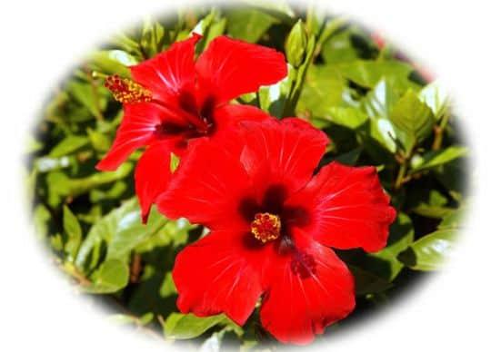 flores rojas hibriscus