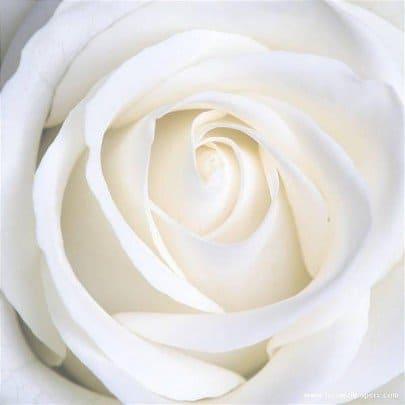 rosa blanca-maria-magdalena