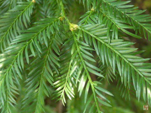 sequoia formas de árboles