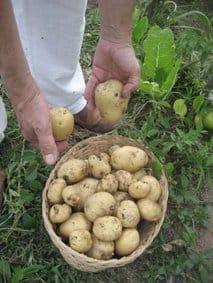 cultiva tu medicina - patatas en la cesta