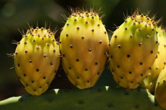 Nopal planta original