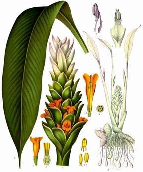 dibujo de la planta de  cúrcuma