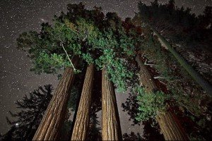 árboles Sequoia