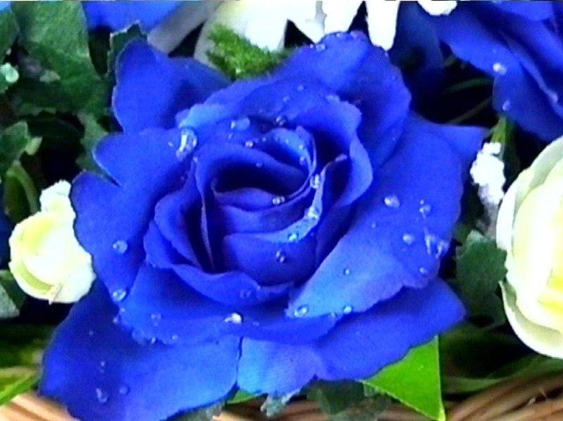 silvana fracchia rosa azul primer plano