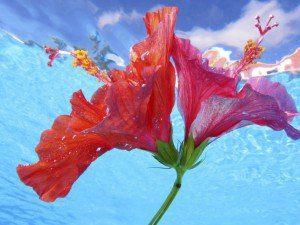 hibiscus flor de color rosa