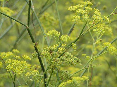 hinojo-hierbas aromáticas