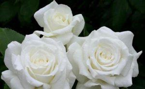 tres-rosas-blancas-580x358