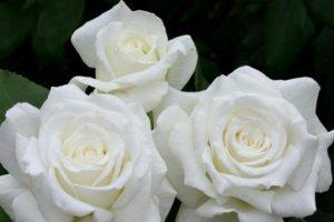 Las Pleyades y  La Rosa de Maria Por Émanuel-Ãchinox