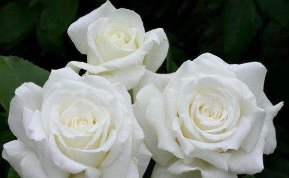 tres rosas blancas - las rosas de maría