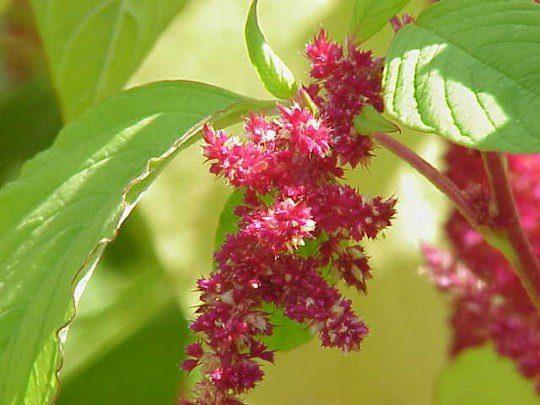amaranto flor