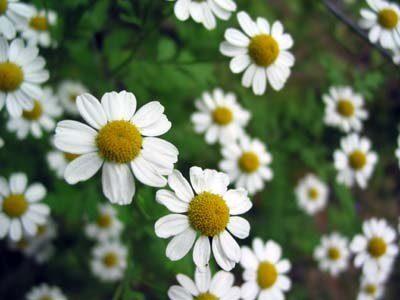 Flores de margarita