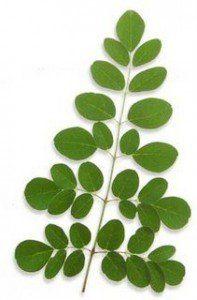 moringa-leaf
