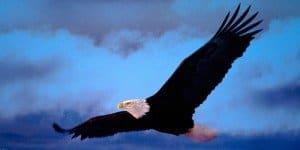 aguila negra con las alas al vuelo