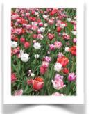 flores -adoula