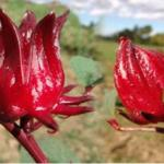 rosa-jamaica