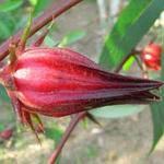 flor-jamaica