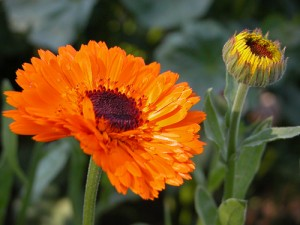 calendula-officinalis