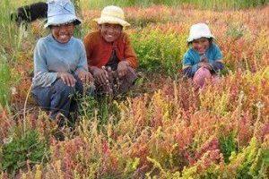 Amaranto, Quinoa y Cañihua: las semillas que pueden salvar al mundo