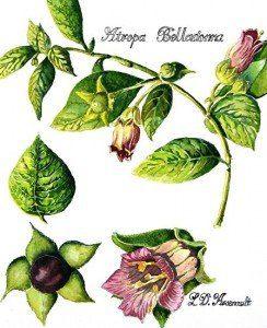 La belladona una planta medicinal para casos de asma for Planta decorativa con propiedades medicinales