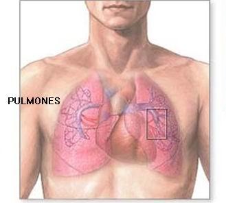 pulmones1 Los 5 órganos y su función psicológica