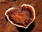 setas- hongos - ganodema