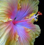 flor -hibiscus