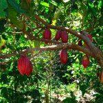 cacao- flor de cacao