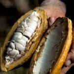 semilla del cacao
