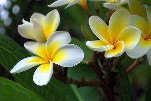 Flores de plumería. Por Renesis. Licencia Creative Commons.