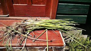 cebollas-cosecha