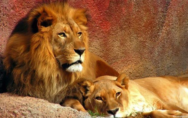 leones tendidos