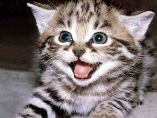 pequeño gato sonriendo