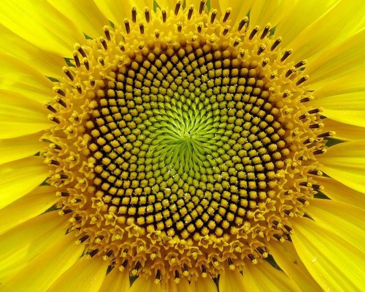 geometría del girasol