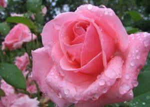 hermandadblanca org rosa flor interpretacion de sueaos 300×215.jpg - La interpretación de sueños con flores - hermandadblanca.org