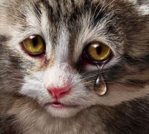 Animal abuse and pet cruelty and neglect with a sad crying kitten cat looking at the viewer with a tear of despair as a concept of the need for humane treatment of living things.