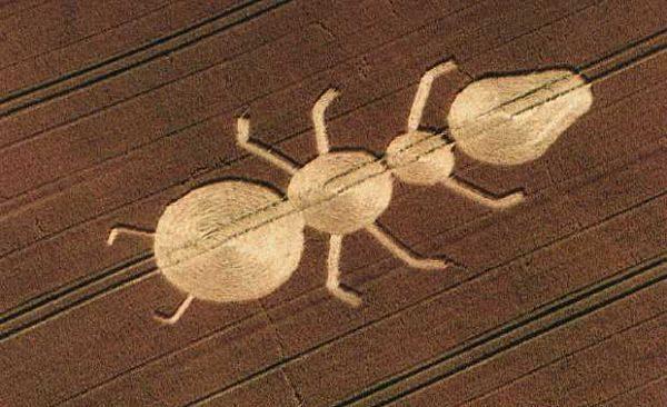 círculo de la cosecha de la hormiga de Inglaterra_opt