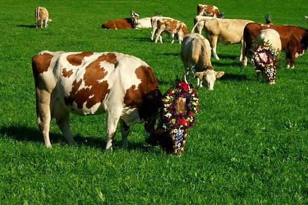 As vacas sagradas - 2 part 2