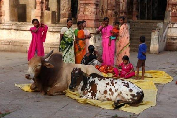 los-hindues-adoran-a-las-vacas_opt