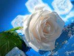 hermandadblanca org rosas blanca 300×225.jpg - ¿Qué es la Belleza? - hermandadblanca.org