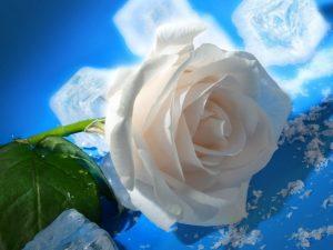 -rosas blanca