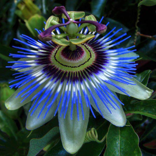 Simetría de la flor de la pasión_opt