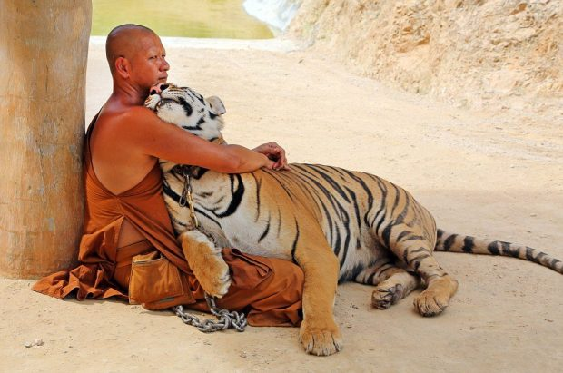 Tigers at the Tiger Temple in Kanchanaburi, Thailand – 26 May 2013 - El Espíritu Altruista de la Bodichita - hermandadblanca.org
